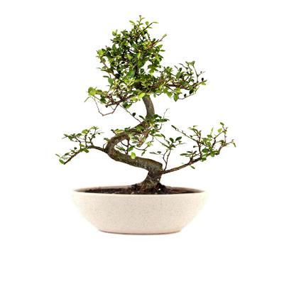 The Bonsai Plants Carmona Bonsai Live Plant - Perfect Gift And Home Decor