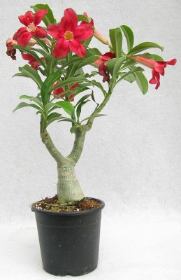 THE BONSAI PLANTS Beautiful Adenium Dessert Rose Plant