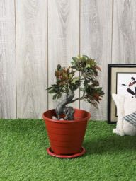 PolliNation Artificial Red Ficus Plant Without Pot for Home,Office, Restaurant, Hotel, Party, Balcony, Garden Décor, Indoor (L 30 cm x H 40 cm)